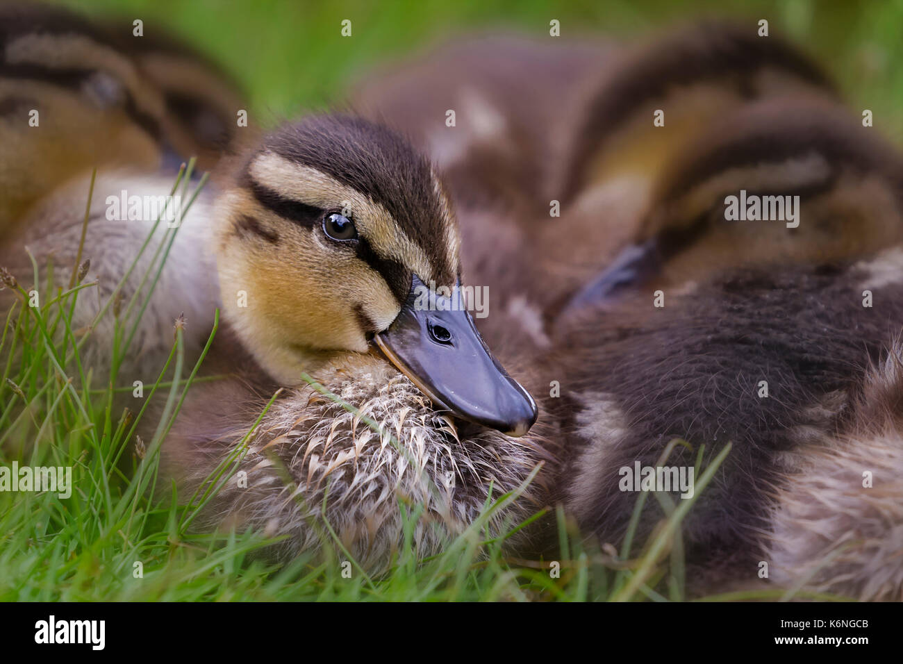 Ducklings Cuddling - Hybrid baby ducklings cuddle and sleep together by the waters edge. Except for one curious Stock Photo