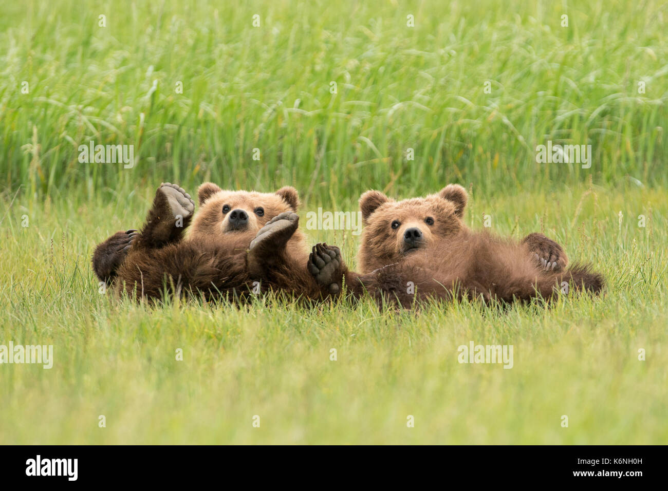 Yearling cubs reclining - Stock Image