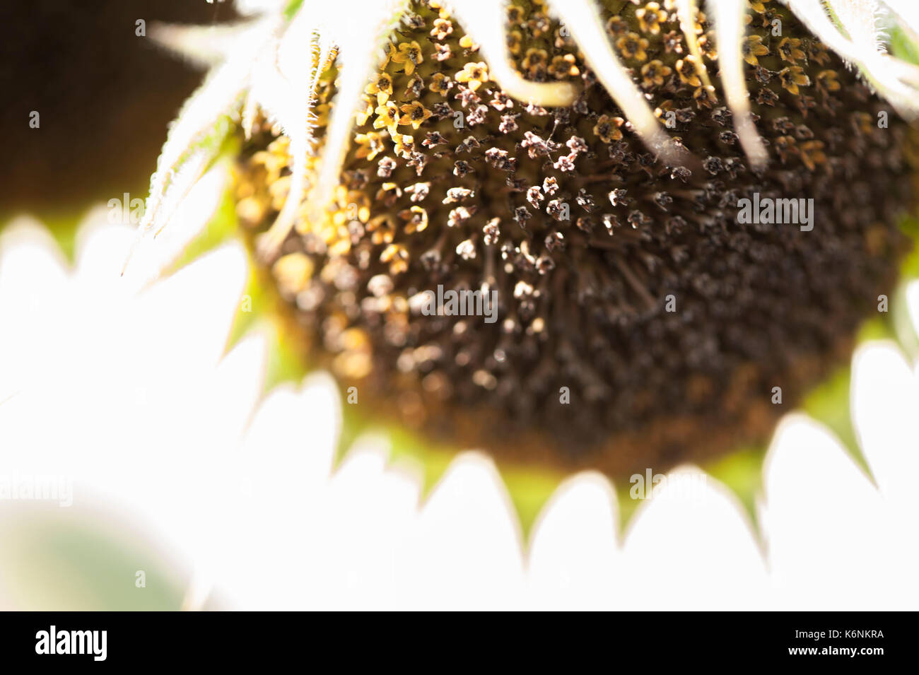 Sunflower Dying at the End of the Summer - Stock Image
