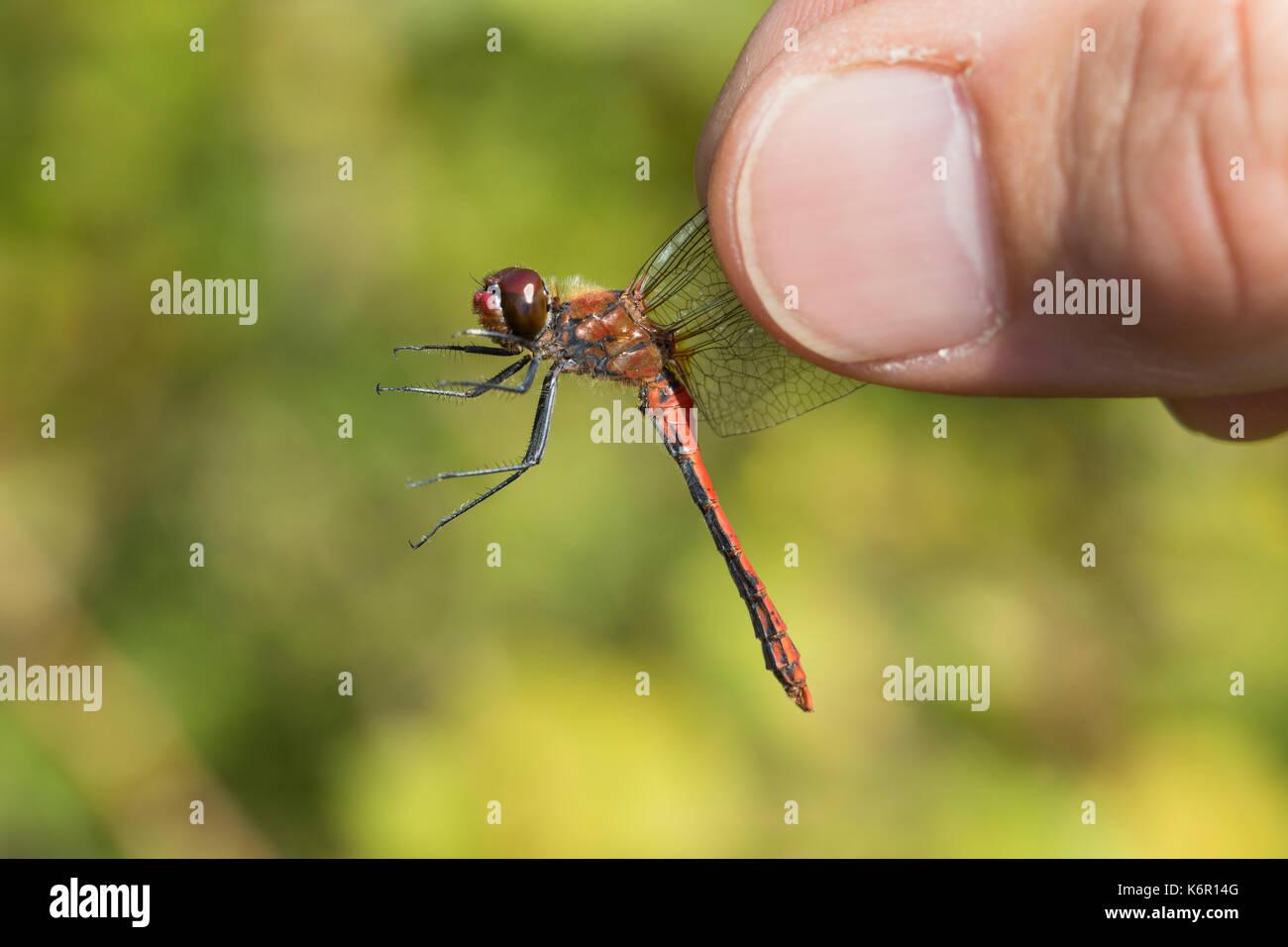 Libellen-Bestimmung, gefangene Libelle wird vorsichtig zwischen zwei Fingern gehalten, Entomologie, Biologie, Freilanduntersuchung, Zoologie, entomolo - Stock Image