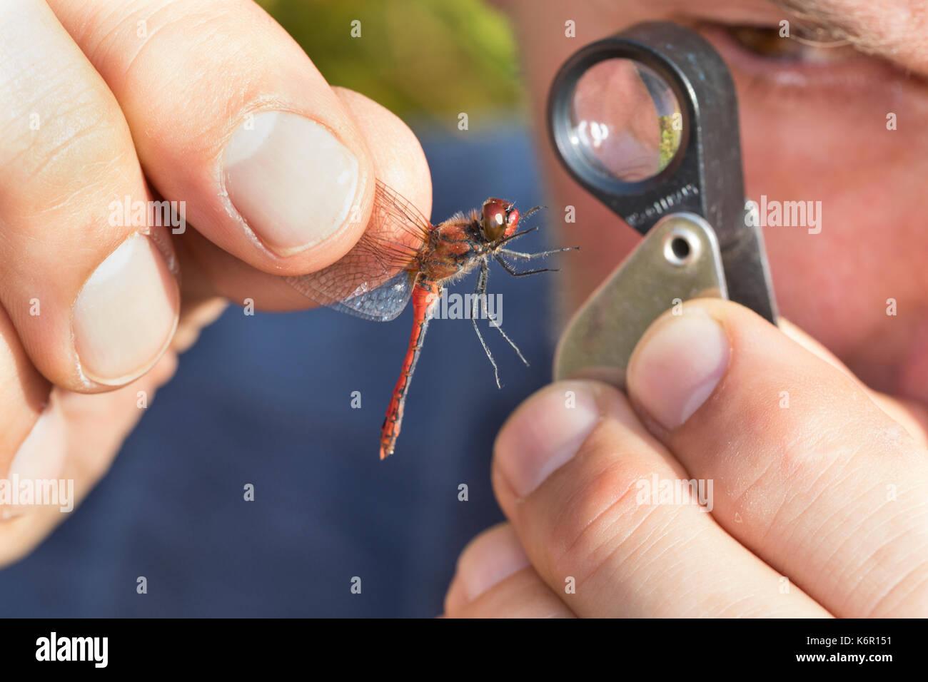 Libellen-Bestimmung, gefangene Libelle wird vorsichtig zwischen zwei Fingern gehalten und mit einer Lupe, Einschlaglupe untersucht, Entomologie, Biolo - Stock Image