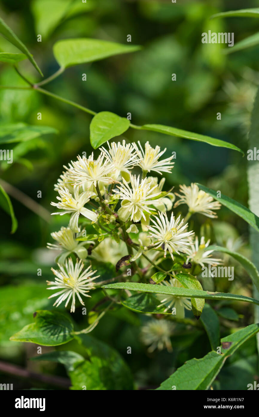 Clematis vitalba (Traveller's Joy, Old Man's beard) shrub in woodland near water in early Autumn in West Sussex, England, UK. Copy space. - Stock Image