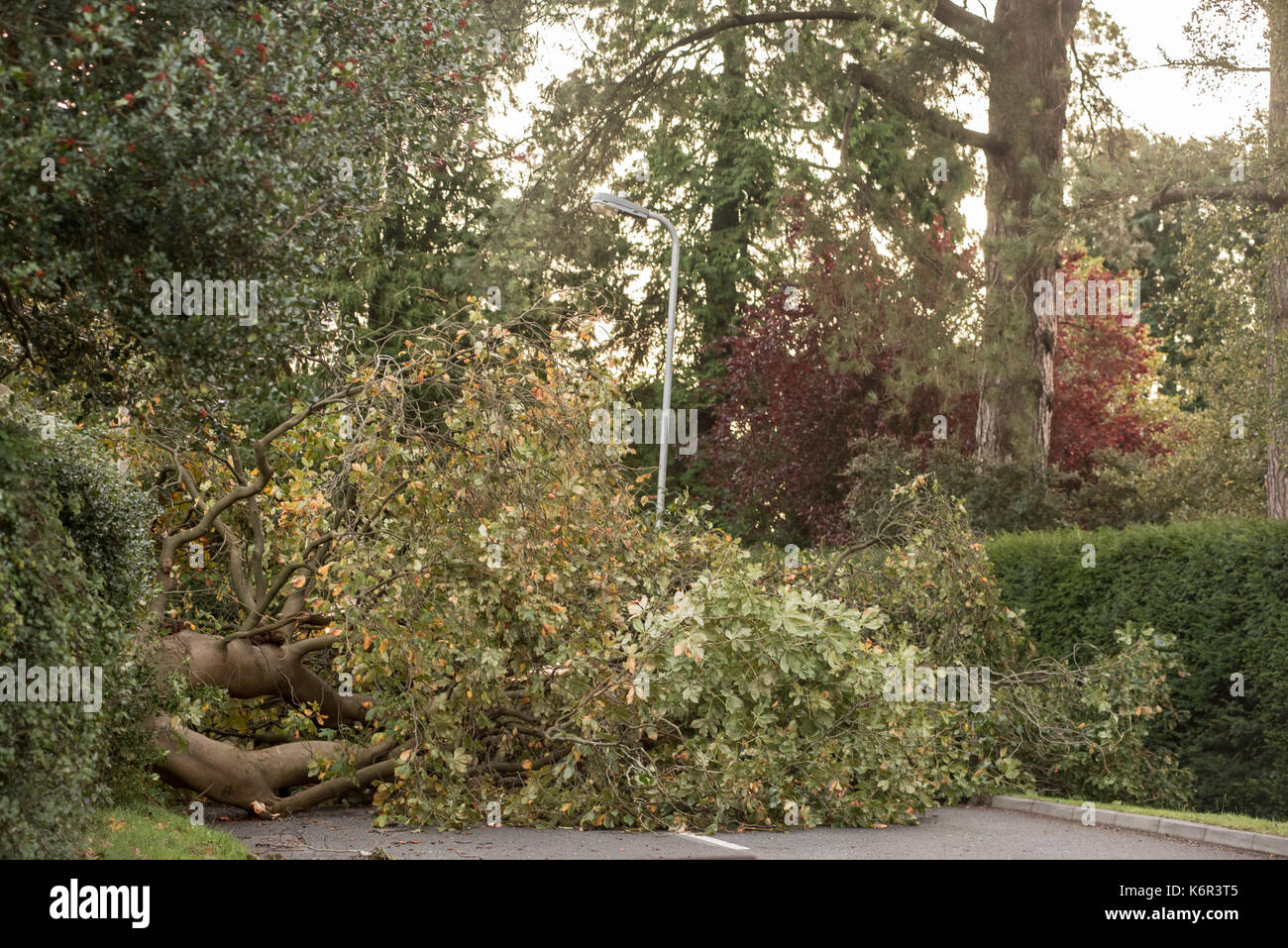 Cardiff, UK. 13th Sep, 2017. 17-09-13 . Cardiff, Wales, UK. Storm Aileen, the first named storm of the 2017-2018 season downs trees across the Welsh capital, Cardiff causing roads to close as here in Mill Lane, Lisvane. Picture Credit: IAN HOMER/Alamy Live News - Stock Image