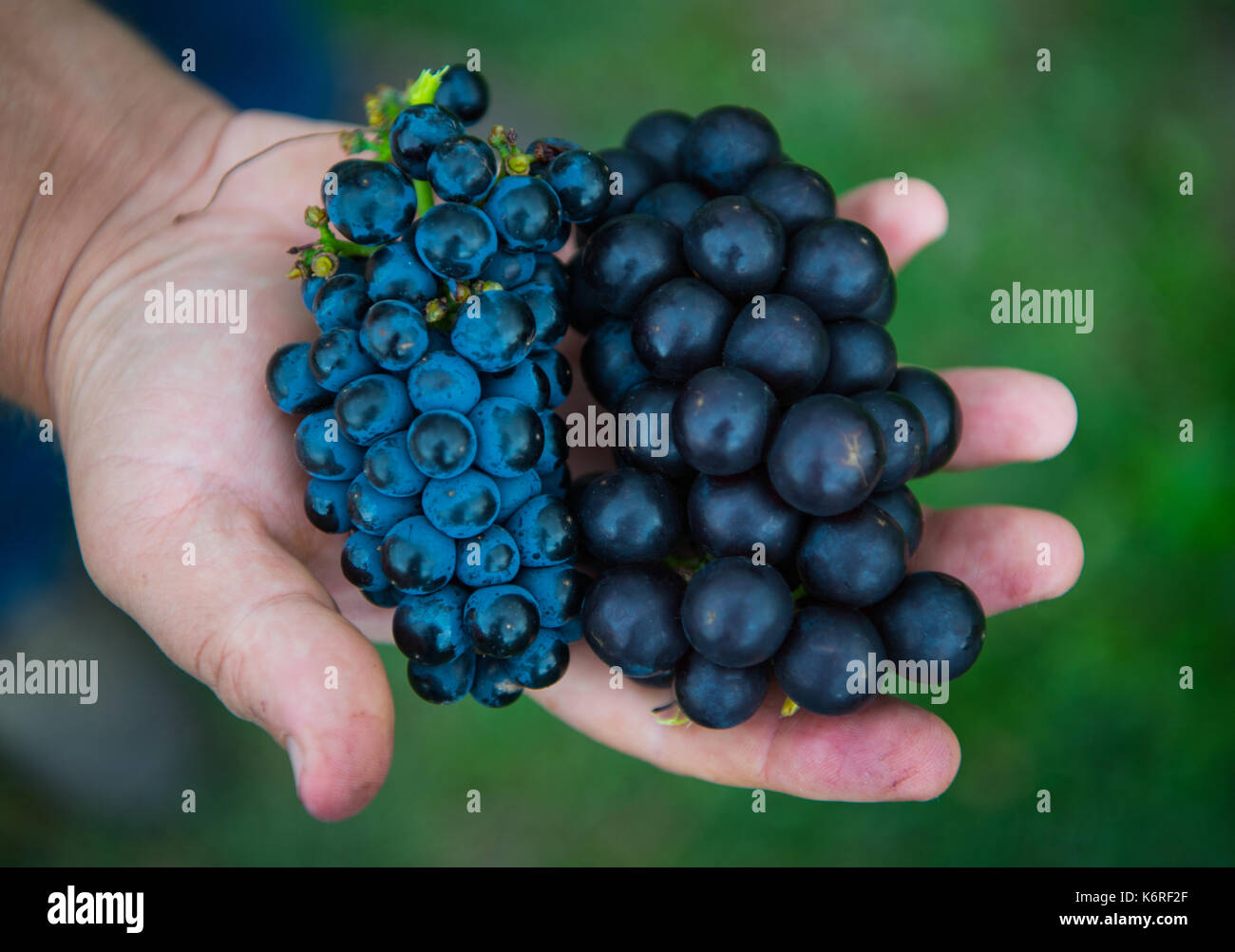 Gundheim, Germany. 5th Sep, 2017. The vine variety detective Andreas Jung can be seen between historical vines in Gundheim, Germany, 5 September 2017. Jung has rediscovered many historical vine varieties and secured their genetic material. Photo: Andreas Arnold/dpa/Alamy Live News - Stock Image