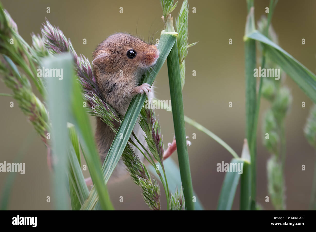 A close up of a harvest mouse climbing up blades of grass and looking inquisitively - Stock Image