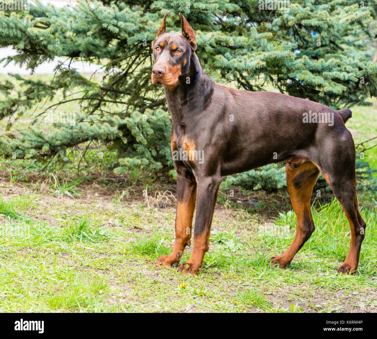 Doberman Pinscher brown. The Doberman Pinscher is on the green grass in the park. - Stock Image