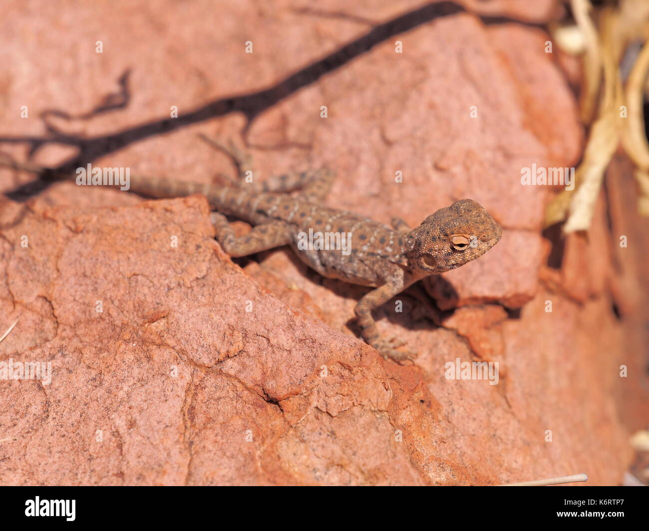 Central Netted Dragon, Ctenophorus nuchalis at Trephina Gorge, east MacDonnell ranges near Alice Springs, Northern Territory, Australia 2017 - Stock Image