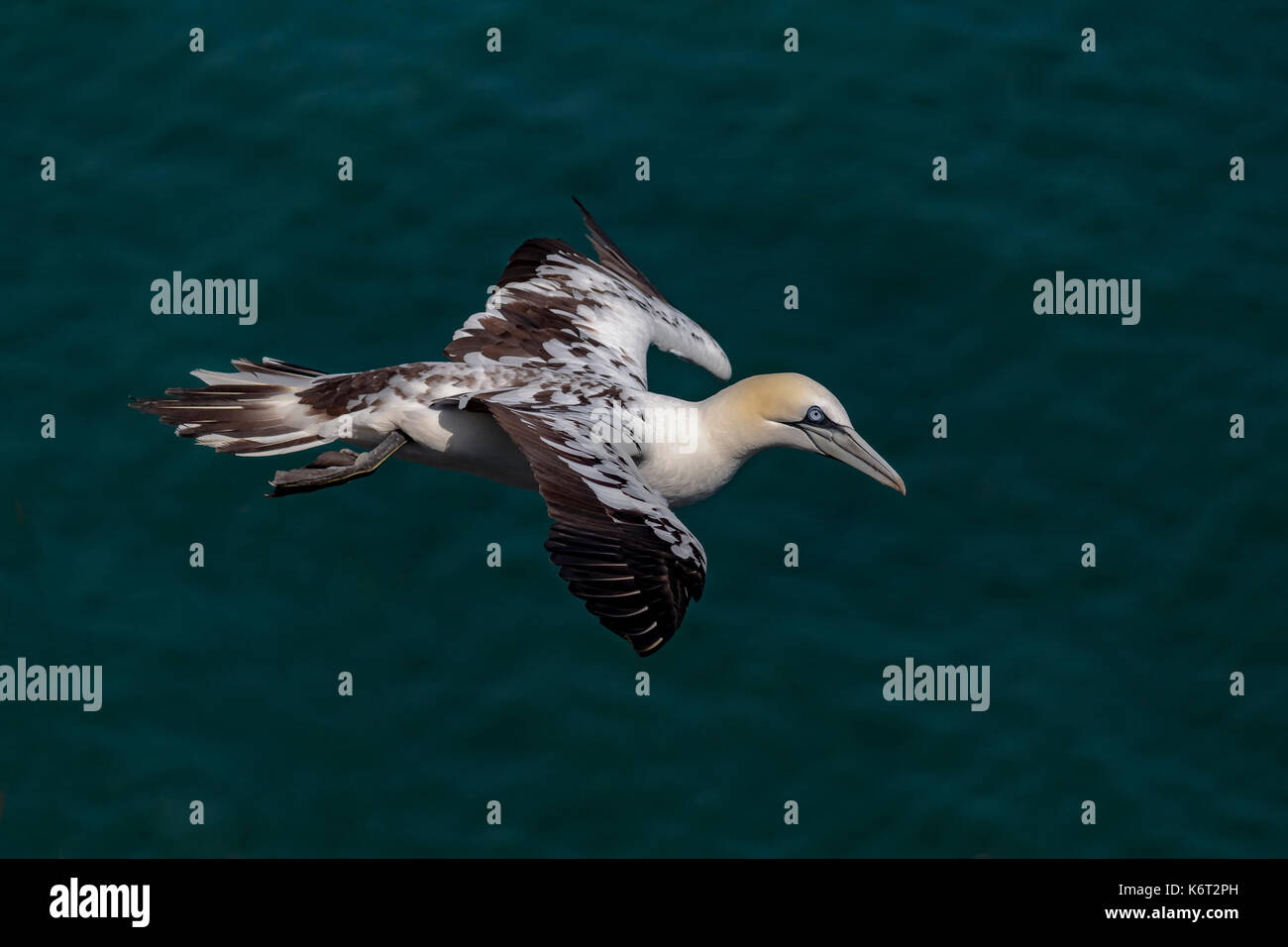 Gannet flying around Bempton cliffs, Flamborough, North Yorkshire. On a lovely, but windy afternoon. - Stock Image