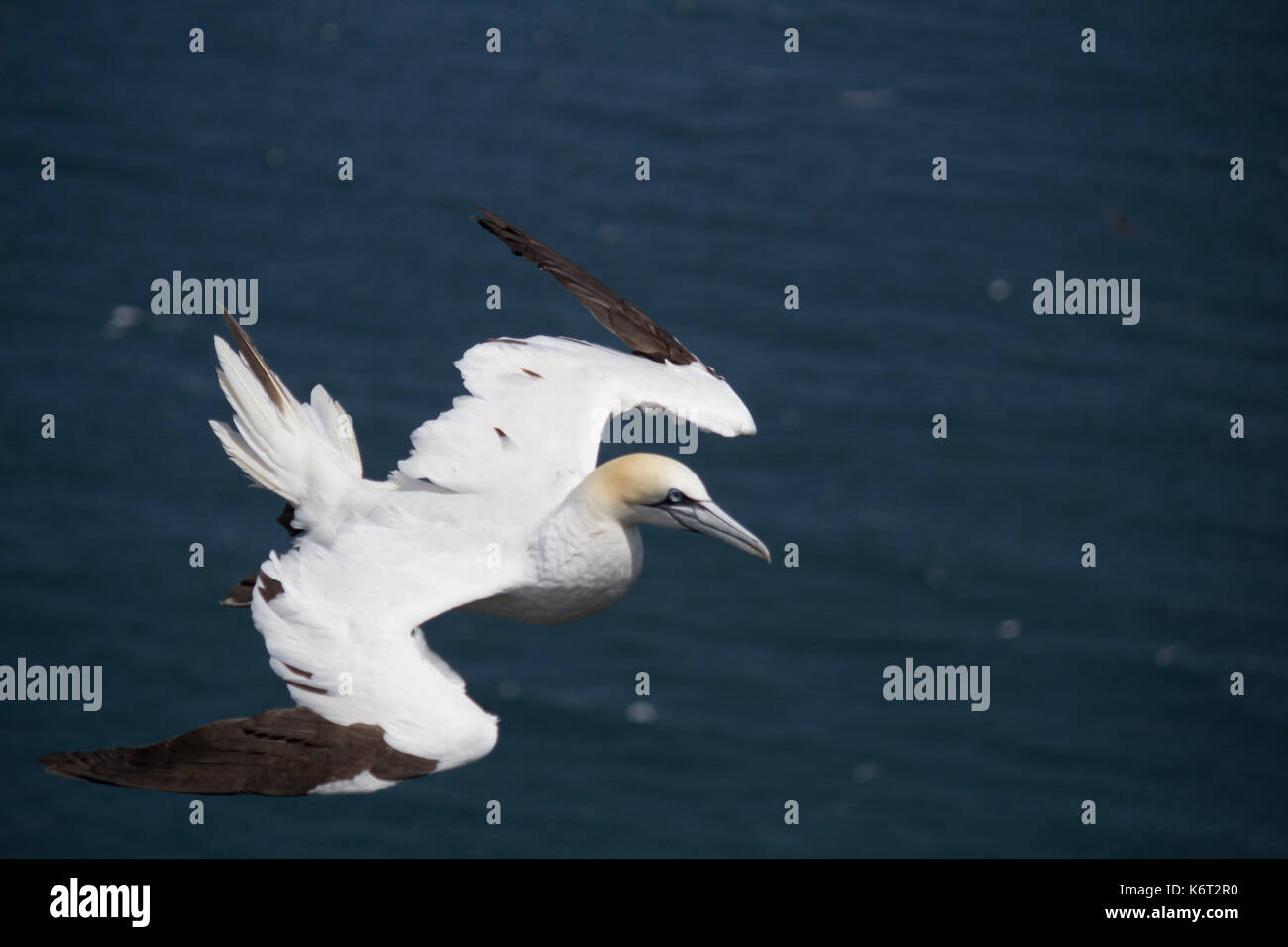 Gannet flying around Bempton cliffs, Flamborough, North Yorkshire. The gannet was flying around the cliffs on a windy day, just catching the wind ! - Stock Image
