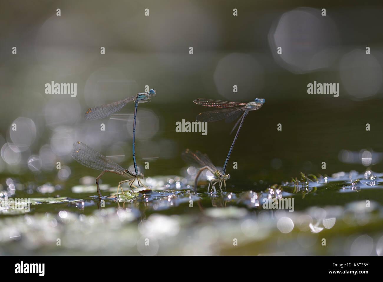 Damselflies, Lestidae, - laying eggs underwater in front of blurred background. - Stock Image