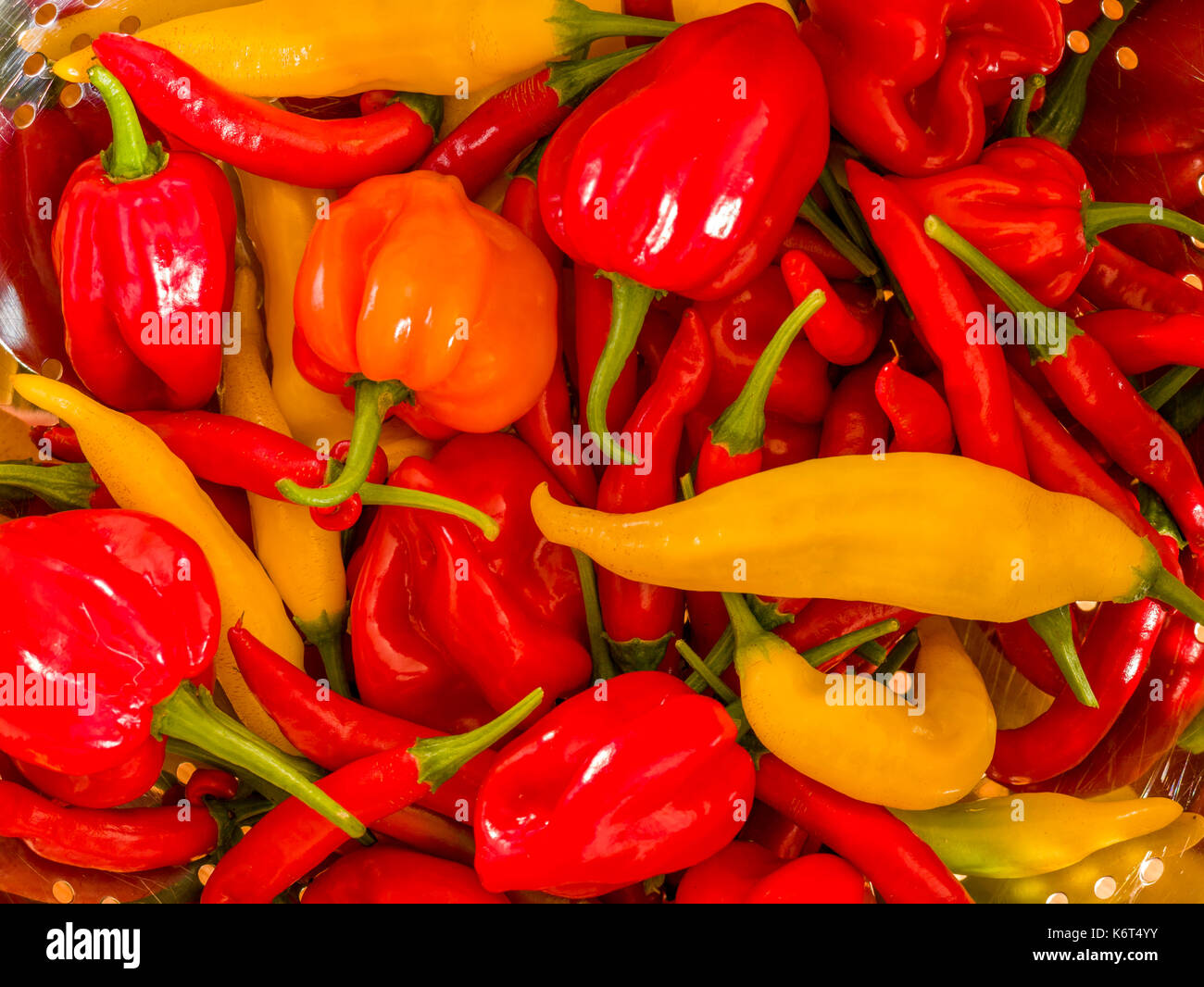 Freshly harvested chillies (Birds Eye, Aji Limon and Scotch Bonnet) in a kitchen Colander. - Stock Image