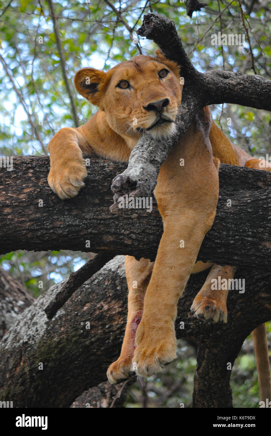 A lioness relaxing in a tree in Lake Manyara National Park, Tanzania. - Stock Image