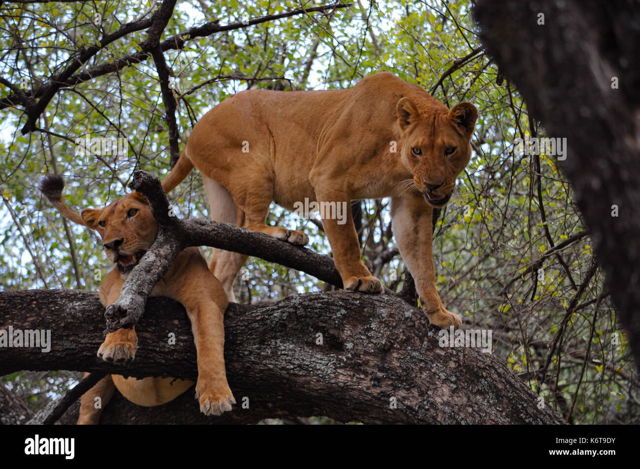 Two lionesses in a tree in Lake Manyara National Park, Tanzania. - Stock Image