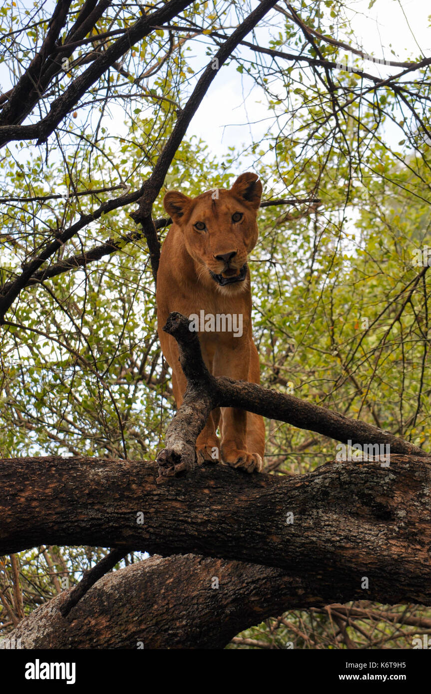 A lioness in a tree in Lake Manyara National Park, Tanzania. - Stock Image