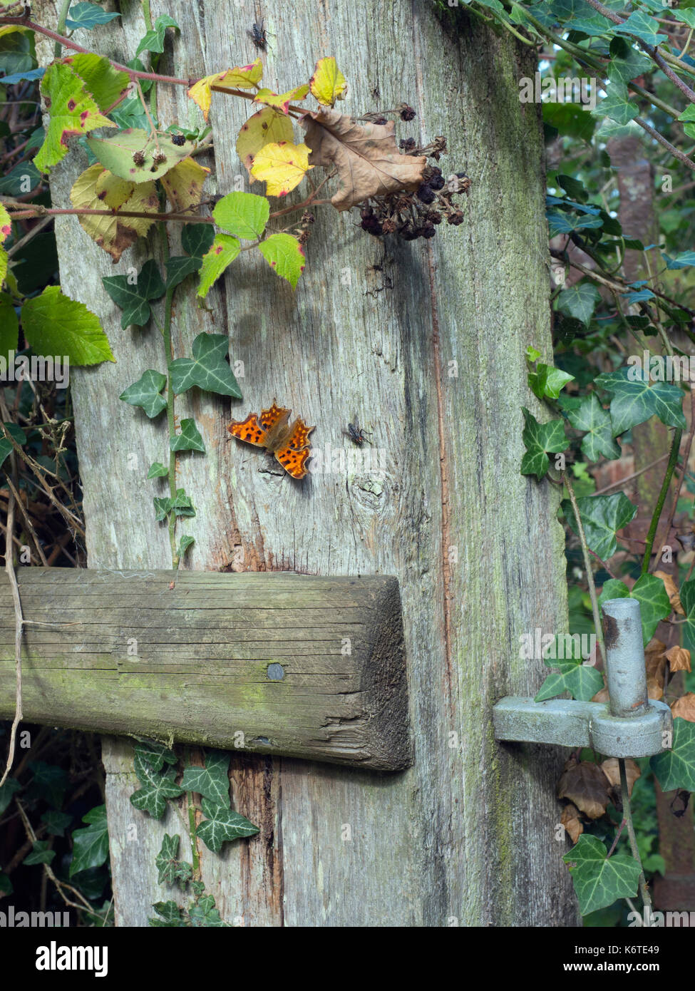 Comma Butterfly Polygonia c-album settled on gate post Norfolk Stock Photo