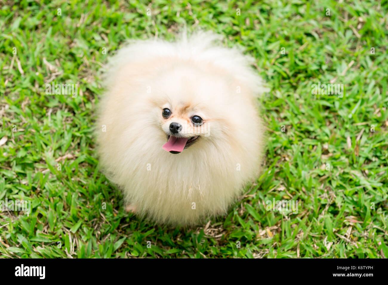 Teacup Pomeranian Stock Photos Teacup Pomeranian Stock Images Alamy
