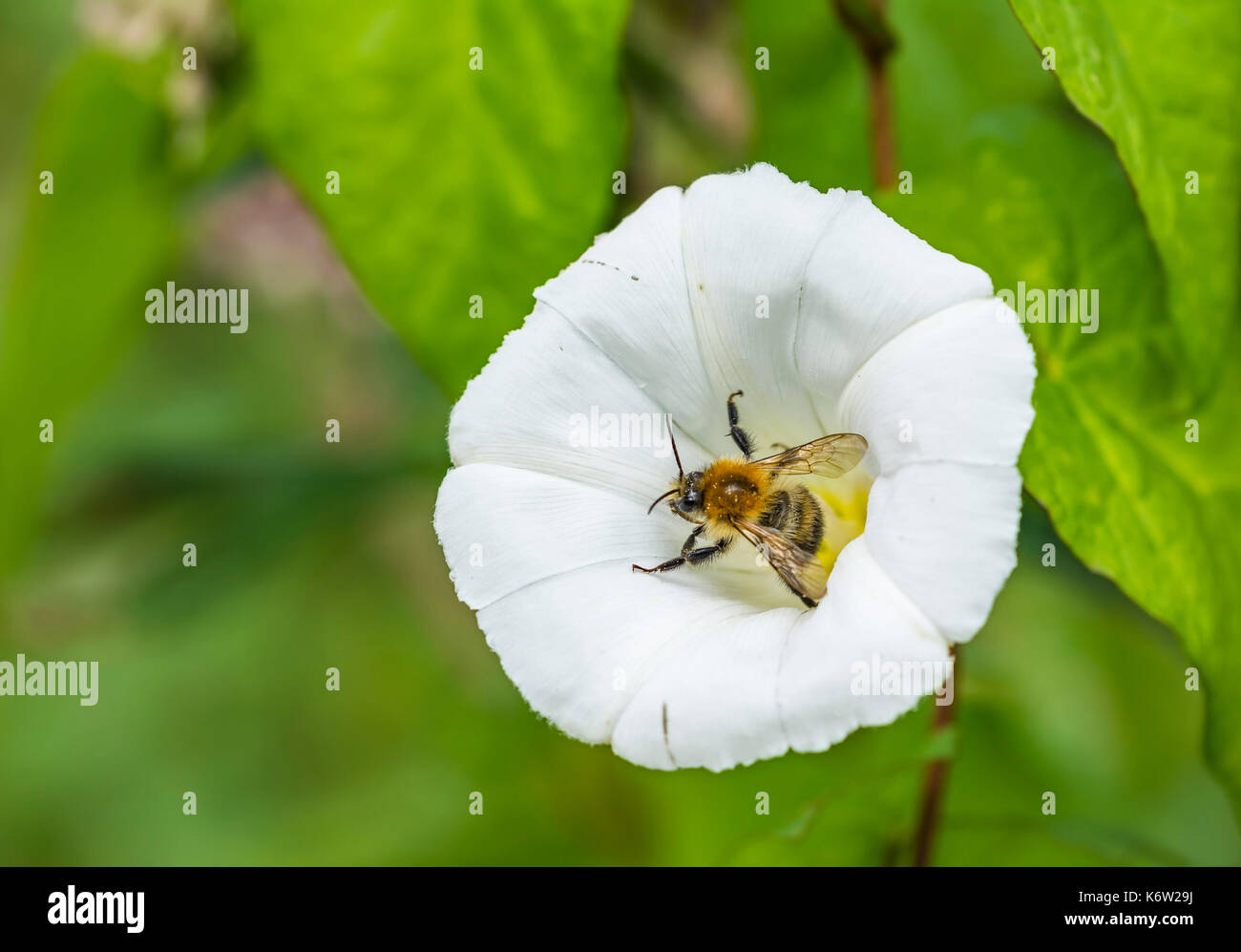 Hedge Bindweed (Calystegia sepium, Rutland beauty, Bugle vine, Heavenly trumpets, bellbind) pollinated by a Honey Bee in Autumn, UK. - Stock Image