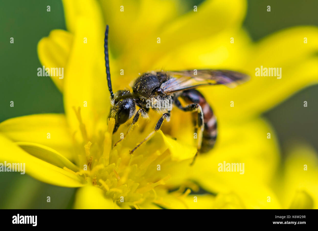 Sweat bee, Lasioglossum species, possibly Lasioglossum calceatum (Common Furrow-bee) in early Autumn in West Sussex, Stock Photo