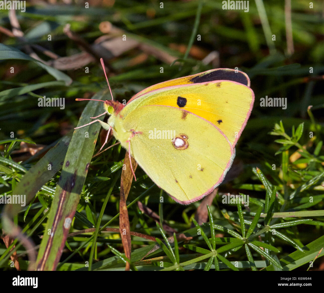 Clouded Yellow butterfly showing a glimpse of its upperside. Hurst Meadows, East Molesey, Surrey, UK. Stock Photo
