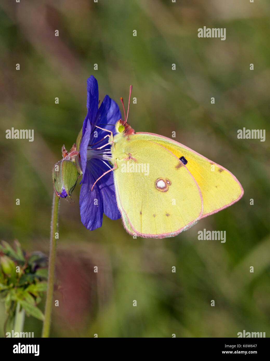 Clouded Yellow butterfly nectaring on Meadow Crane's-bill flower. Hurst Meadows, East Molesey, Surrey, UK. - Stock Image