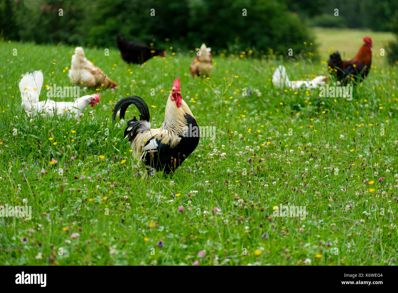Rooster on a flower meadow, poultry, breed Dorking, Schwaiganger, Ohlstadt, Oberbayern, Germany - Stock Image