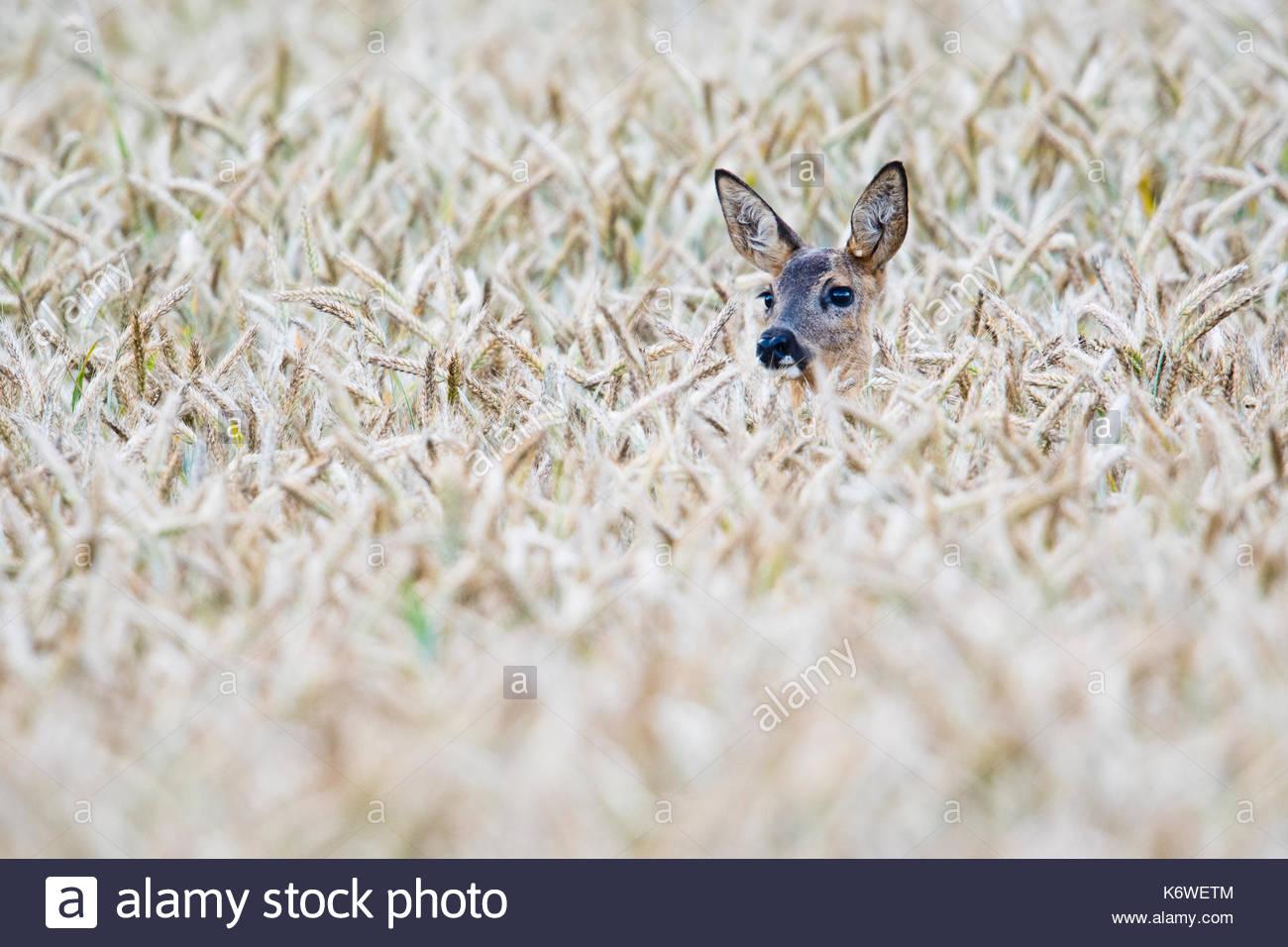 European roe deer (Capreolus capreolus) in corn field, Emsland, Lower Saxony, Germany - Stock Image