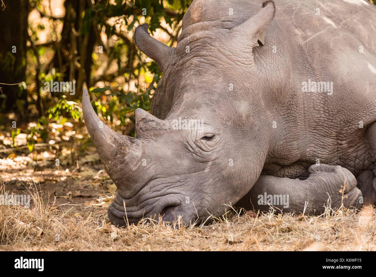 Northern White Rhinoceros Ceratotherium Simum Cottoni Sleeping Animal Portrait Ziwa Rhino