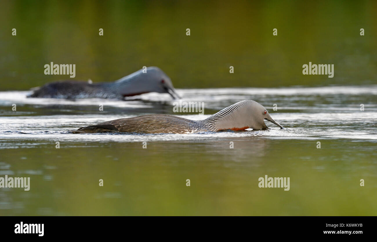 Red-throated diverpair (Gavia stellata), aggression, defense of the territory, Sweden - Stock Image