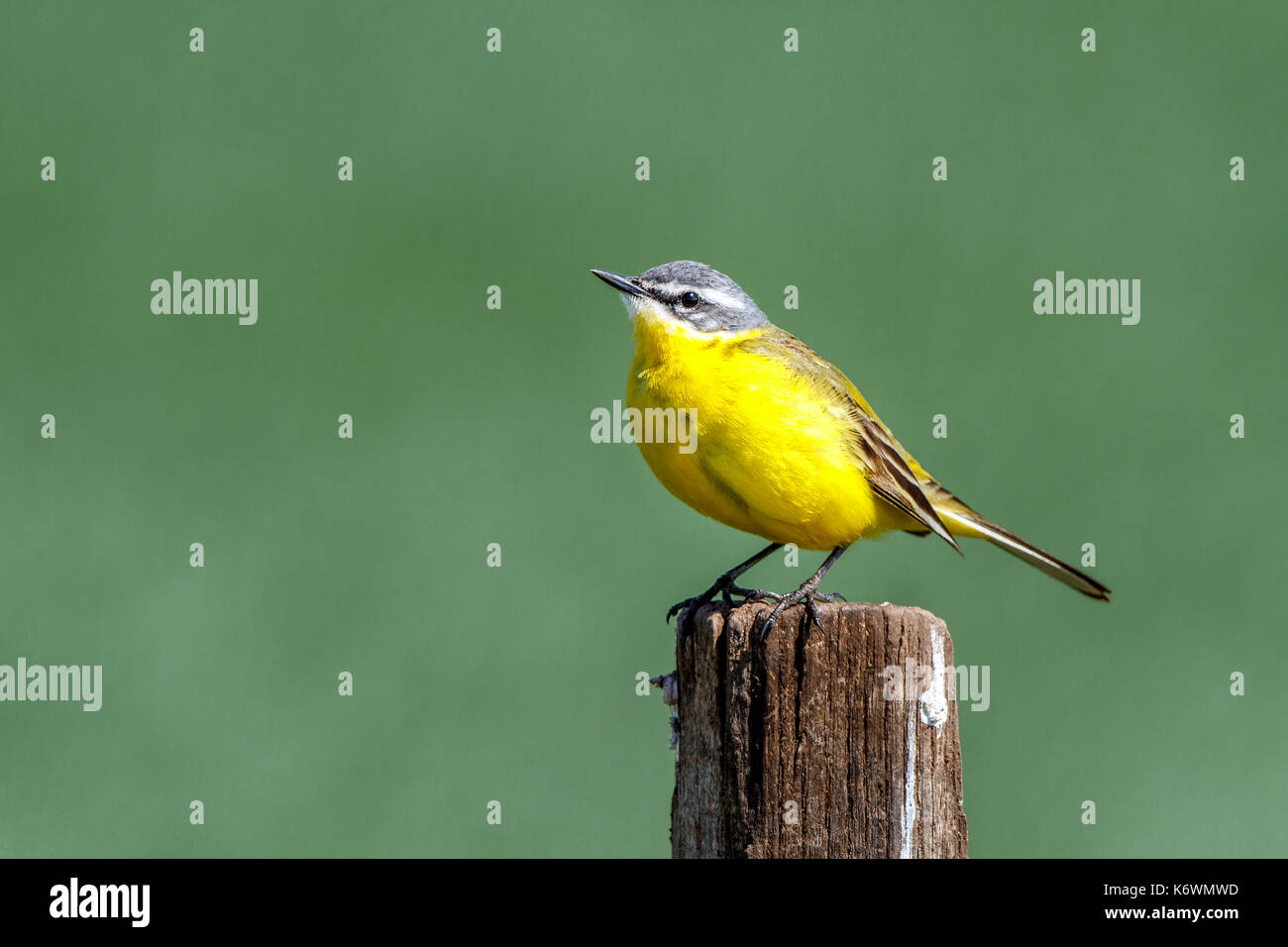 Yellow wagtail (Motacilla flava), on fence post, Burgenland, Austria - Stock Image