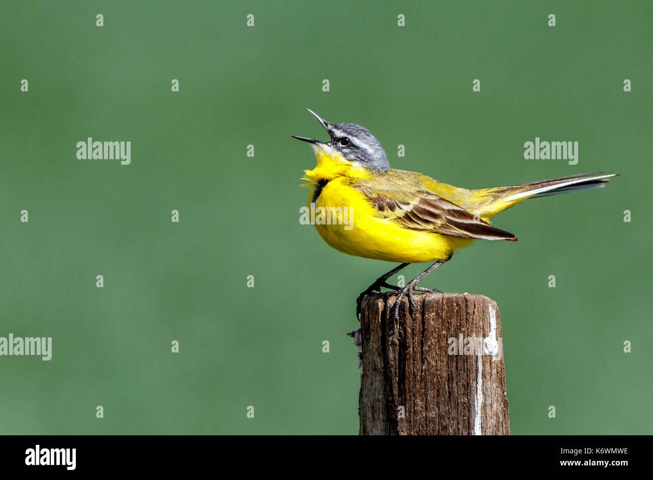 Yellow wagtail (Motacilla flava), singing on fence post, Burgenland, Austria - Stock Image