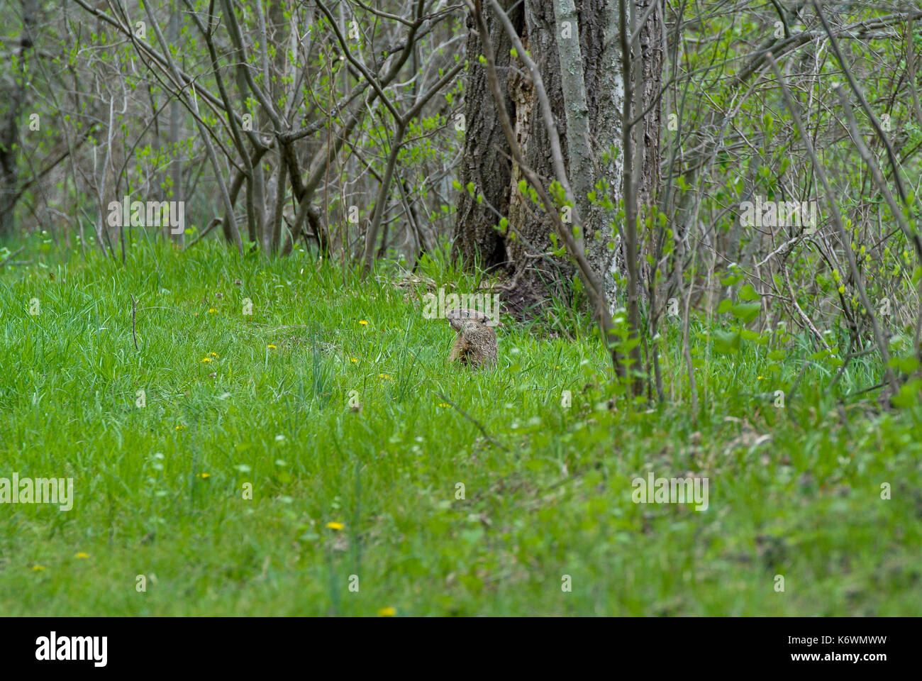 GROUNDHOG (MARMOTA MONAX) PEEKING OUT OF HOLE - Stock Image