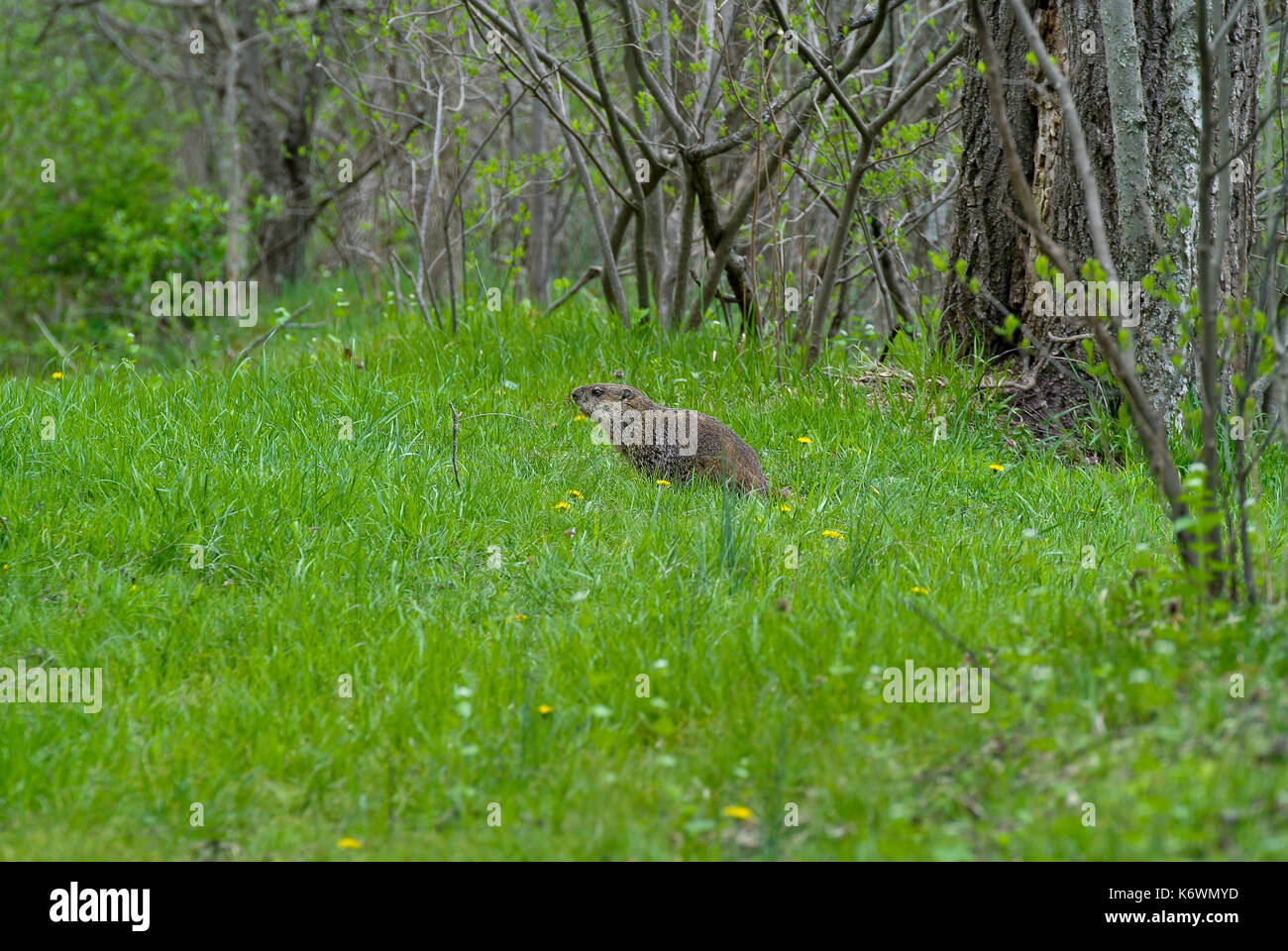 GROUNDHOG (MARMOTA MONAX) IN FIELD EDGE GRASS - Stock Image