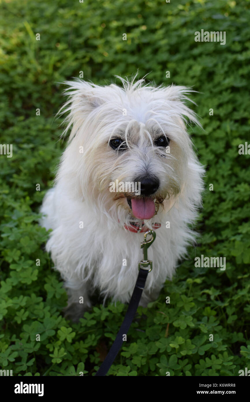 Small white dog in field of clover. Maltese terrier mix. - Stock Image