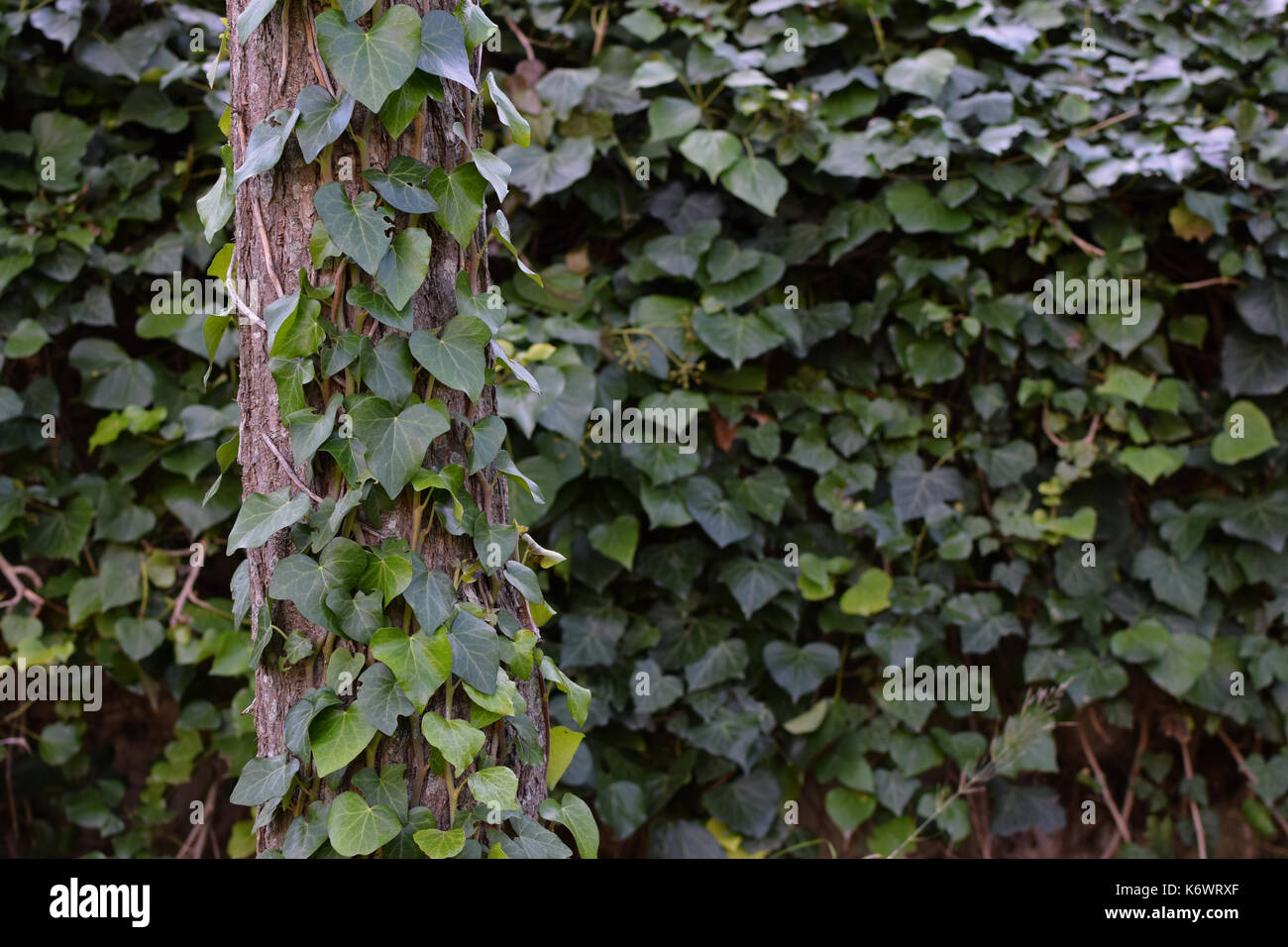 Tree Trunk And Fence With Green Ivy Climbing Vine Nature