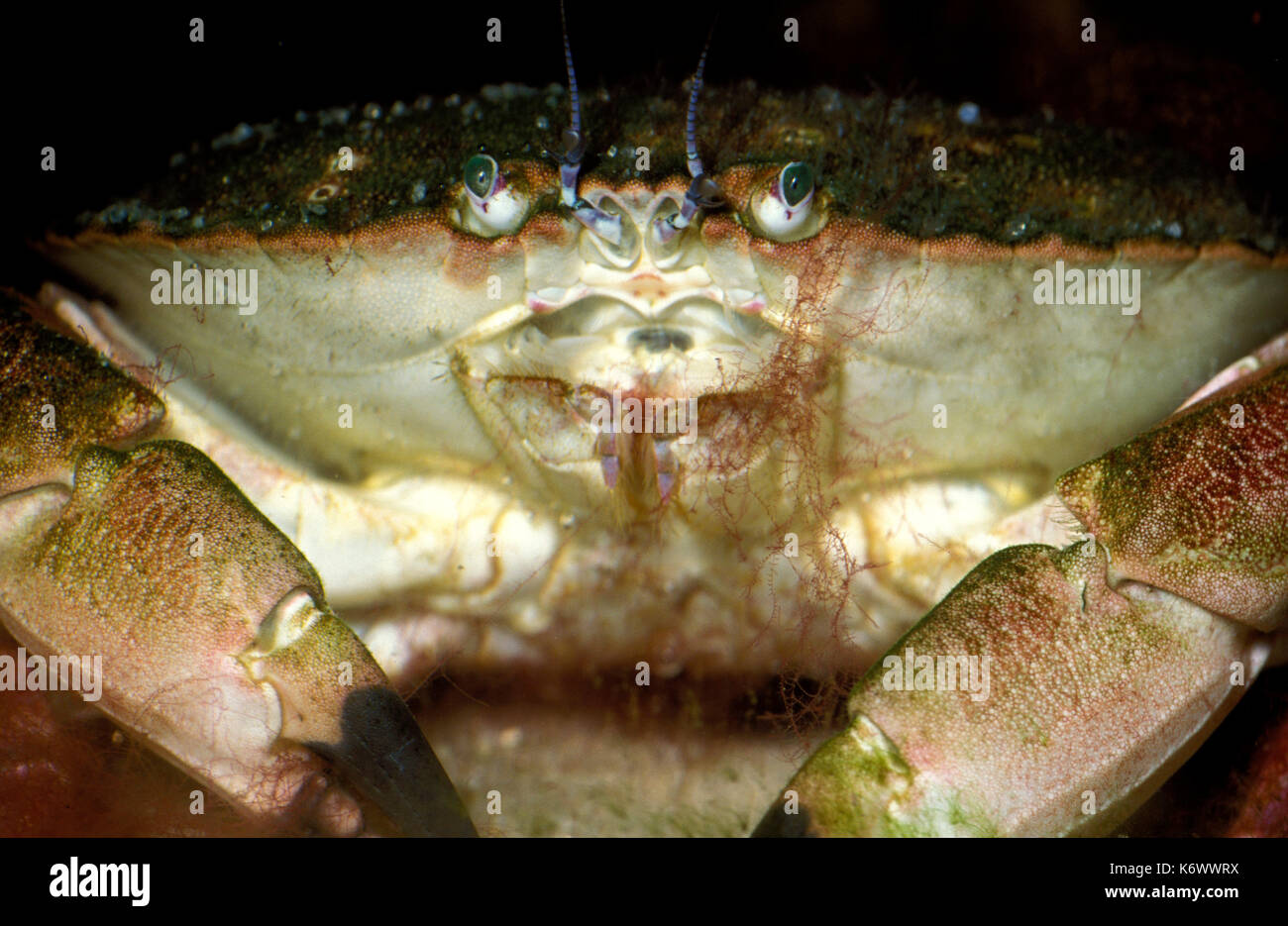 Shore Crab Carcinus Maenas Close Up Showing Eyes And Mouthparts