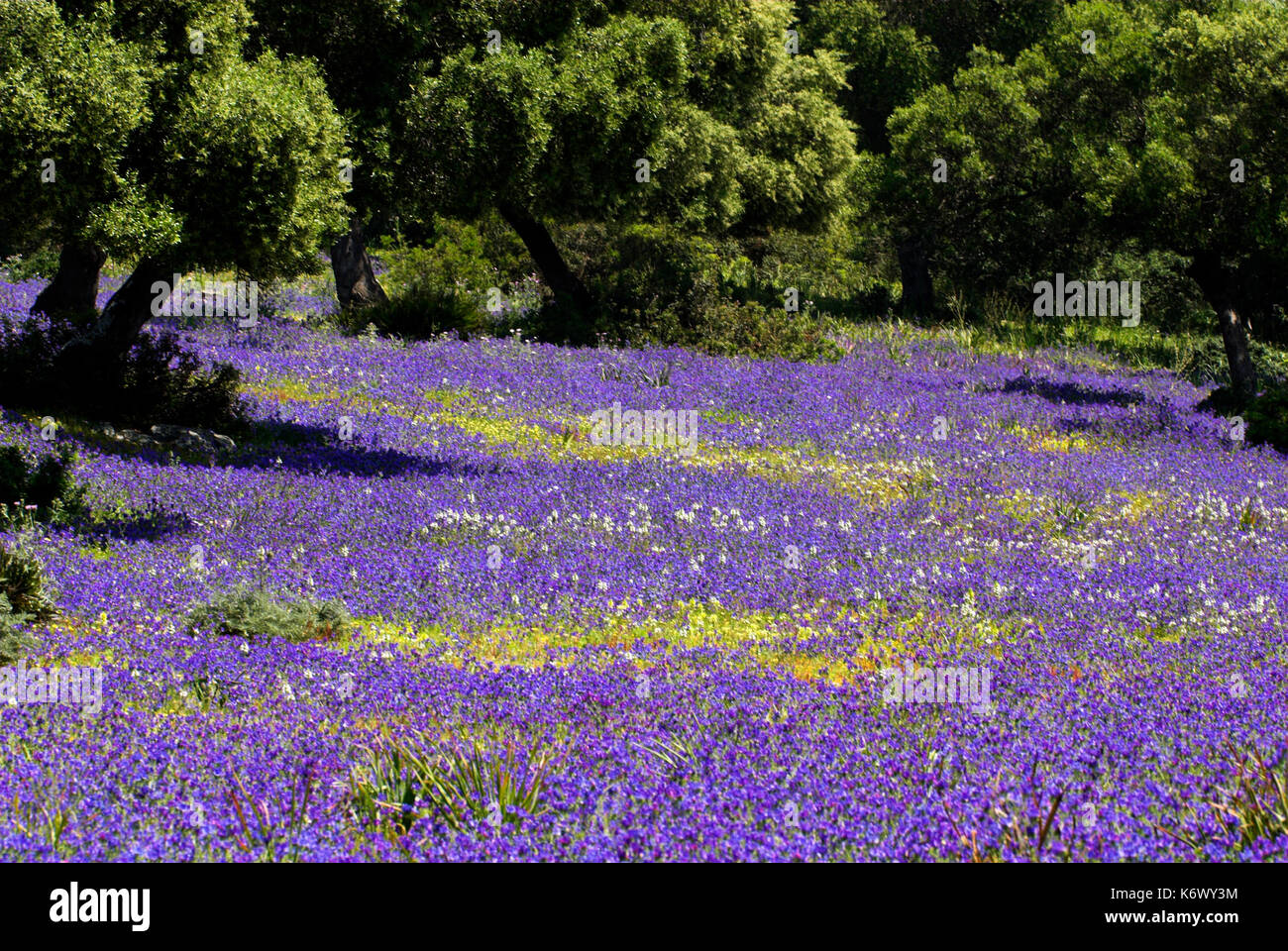 Wild flower meadow andalusia andalucia blue purple flowers cork wild flower meadow andalusia andalucia blue purple flowers cork oak trees mightylinksfo