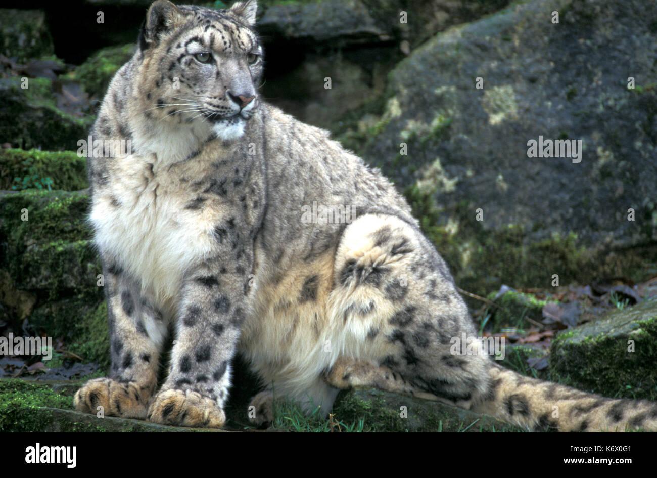 Snow leopard, captive, Panthera uncia, spotty pattern dense fur - Stock Image