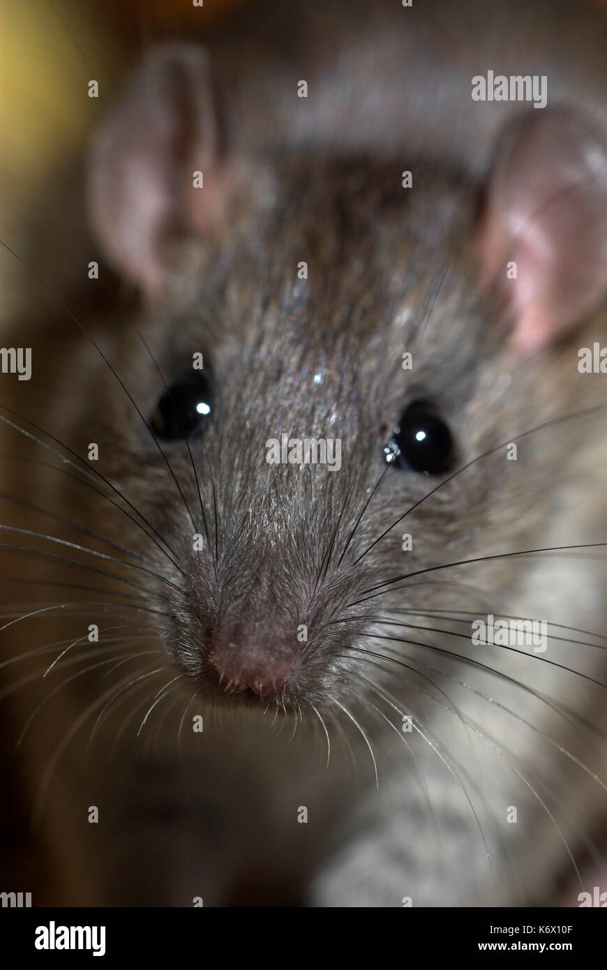 Black Rat, Rattus rattus, portrait, large ears and whiskers - Stock Image
