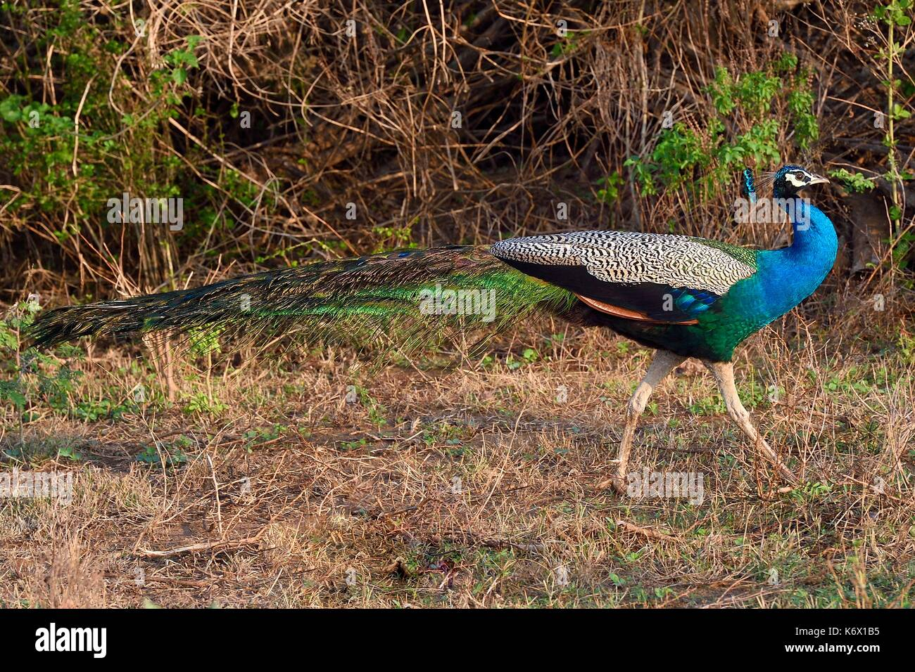 Sri Lanka, Uva province, Udawalawe National Park, indian peafowl or blue peafowl (Pavo cristatus) - Stock Image