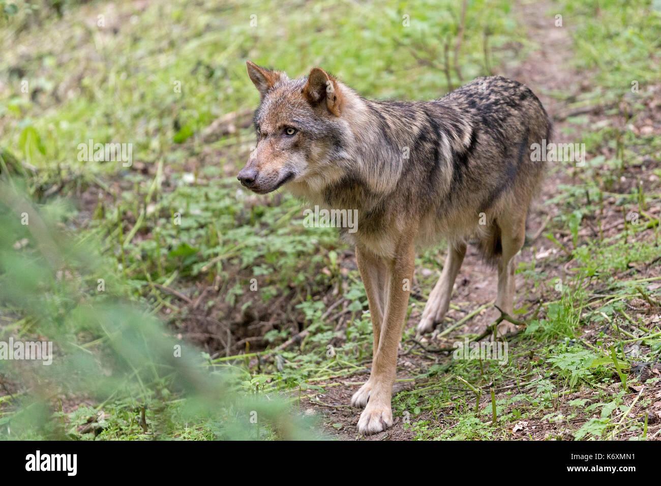wolf (Canis lupus), Wildpark Schwarze Berge, Rosengarten, Lower Saxony, Germany - Stock Image