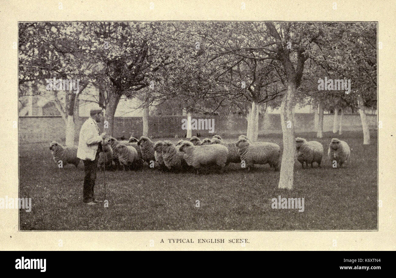 Fitting sheep for show ring and market BHL18385219 Stock