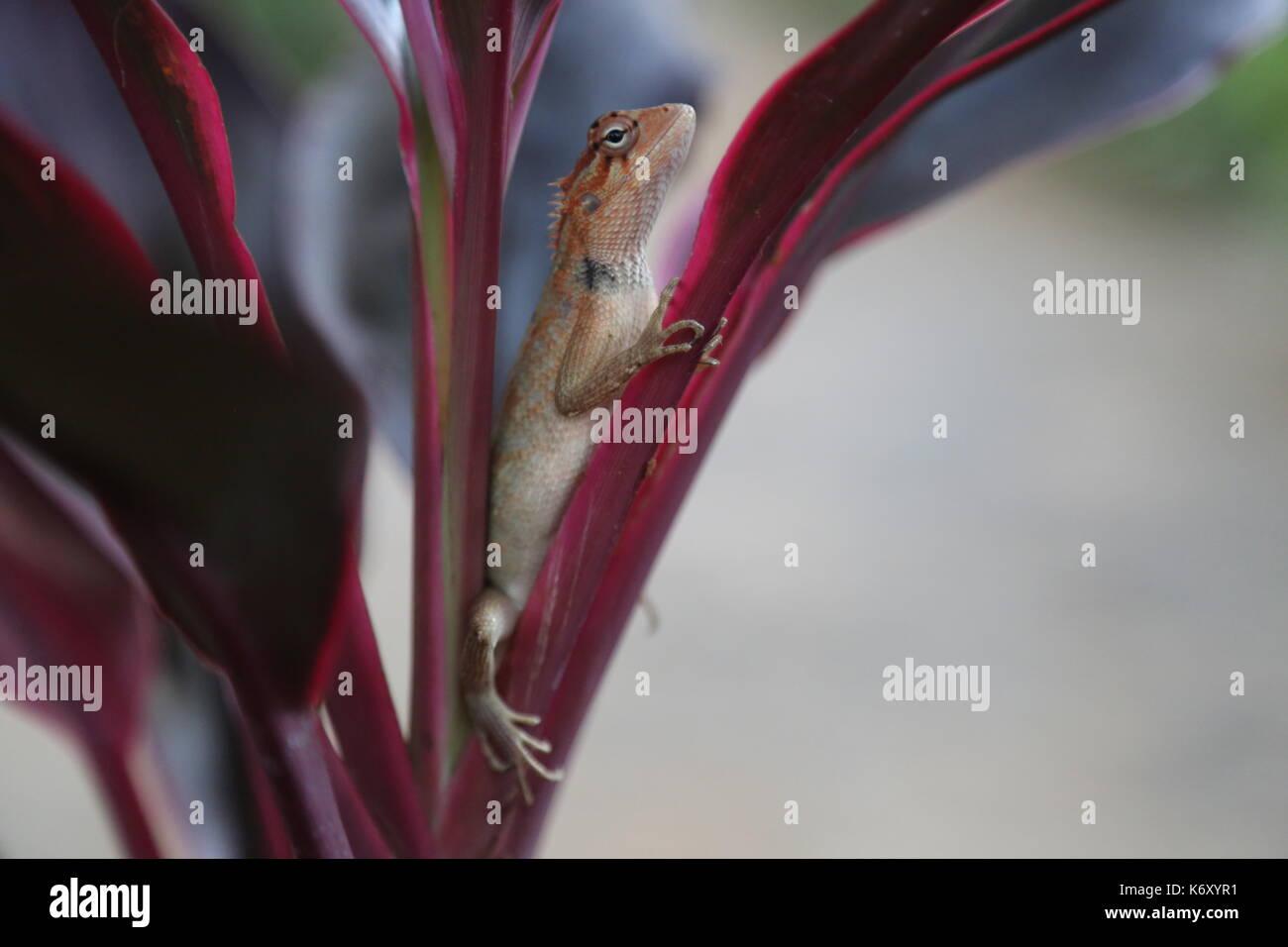 Sri Lankan Kangaroo Lizard (Otocryptis Wiegmanni) in Sri lanka - Stock Image