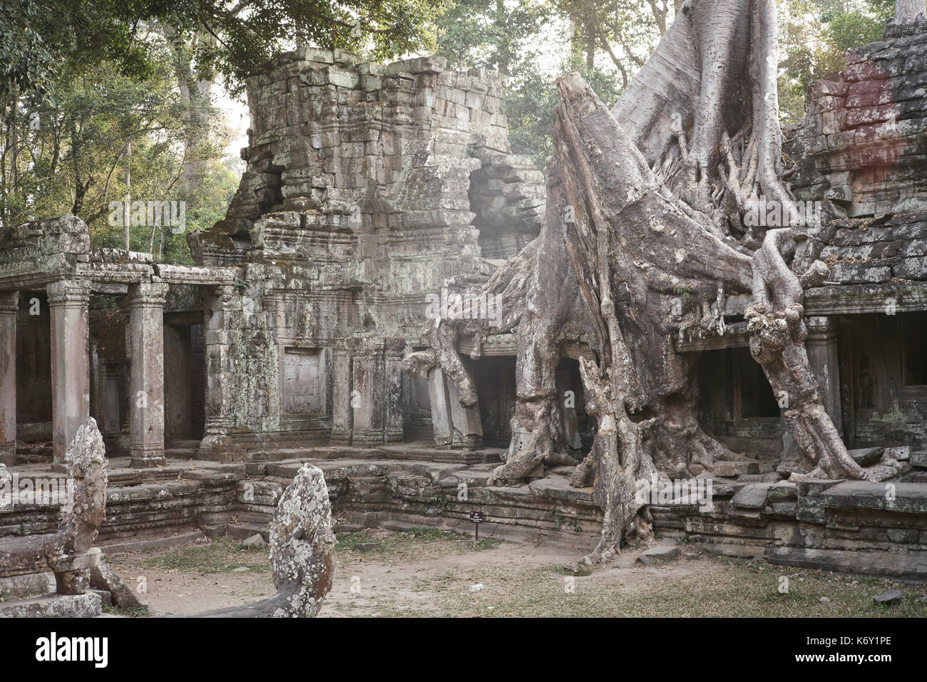 Green forest and tree growing on the Temple of Preah Kahn in Angkor, Siem Reap, Cambodia - Stock Image