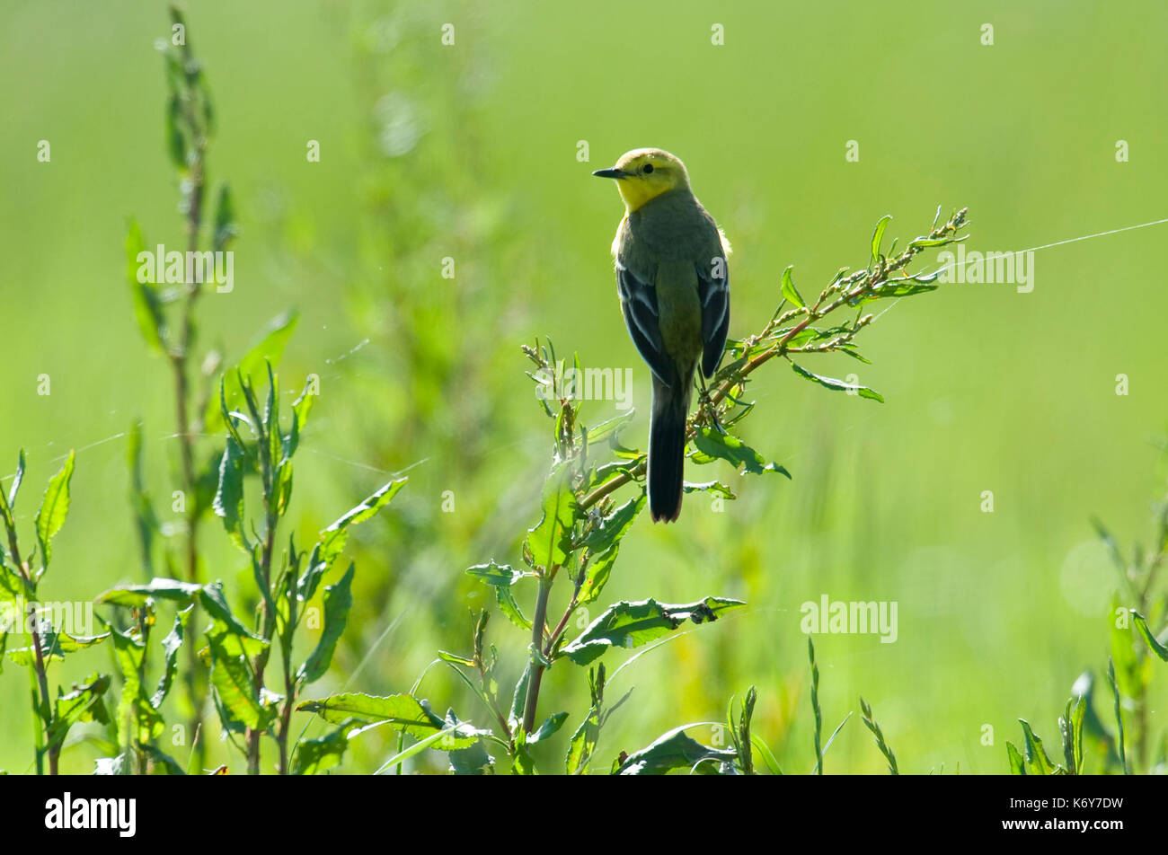Yellow Wagtail, Motacilla flava, Elmley Marshes, Kent, UK, summer migrant, backlight, perched on grass reeds - Stock Image