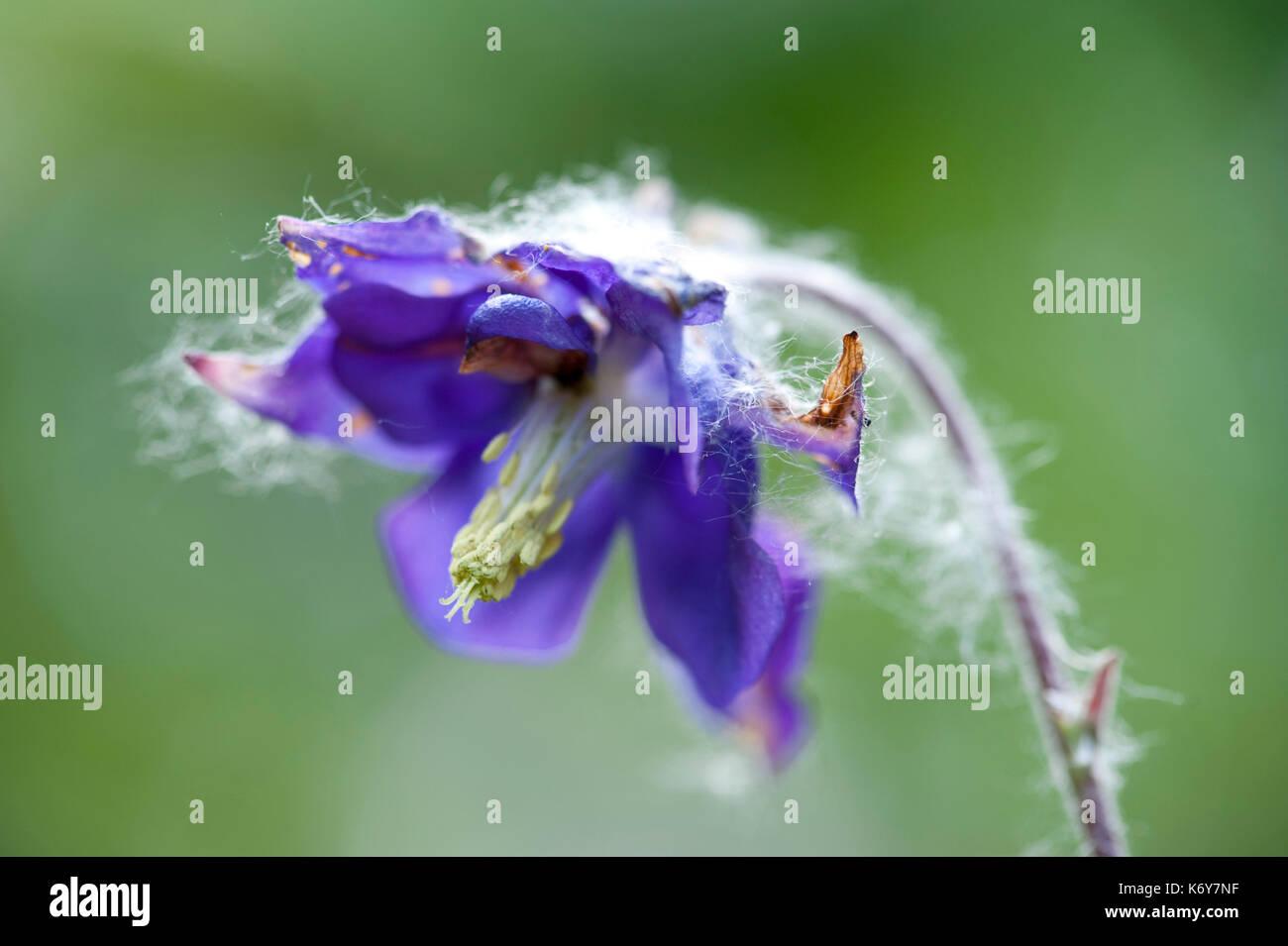 Columbine Flower, Aquilegia vulgaris, Kent, UK Sevenoaks Wildlife Reserve, Kent Wildlife Trust, A Site of Special Scientific Interest (SSSI), close up - Stock Image