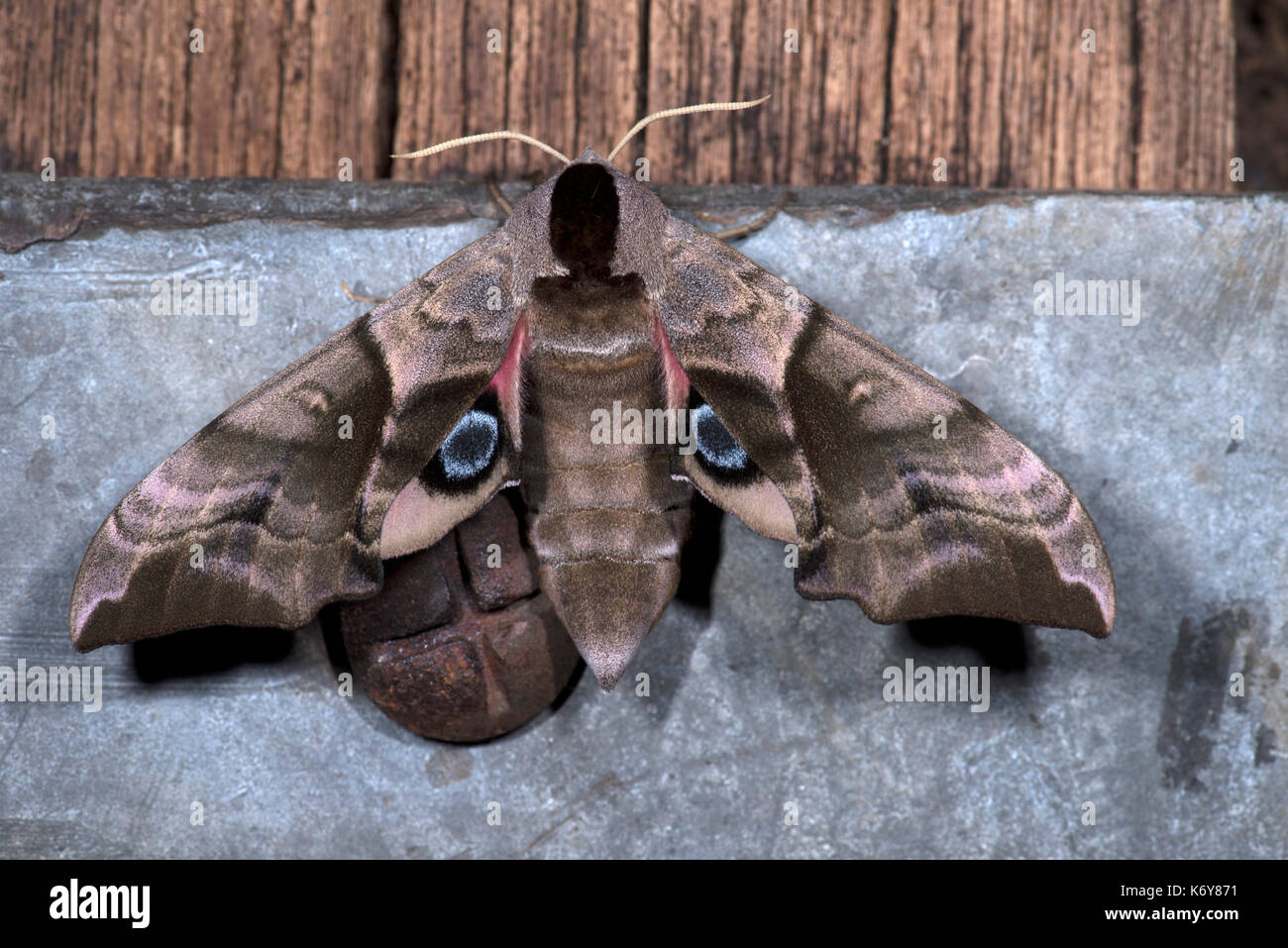 Eyed Hawk Moth, Smerinthus ocellata, Kent, UK, camouflaged appearance at rest, but if provoked, flashes the hindwings, Stock Photo