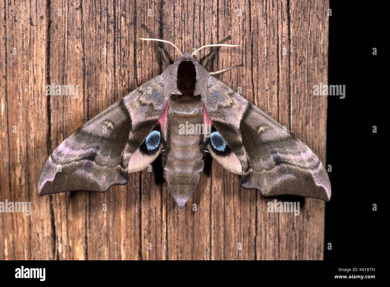 Eyed Hawk Moth, Smerinthus ocellata, Kent, UK, camouflaged appearance at rest, but if provoked, flashes the hindwings, which are decorated with intens - Stock Image