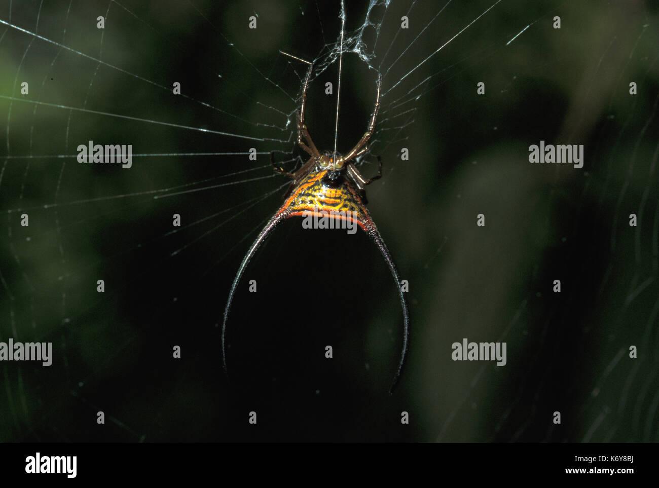 Curved Spiny Spider, Gasteracantha arcuata, Sukau River area, Sabah, on web - Stock Image