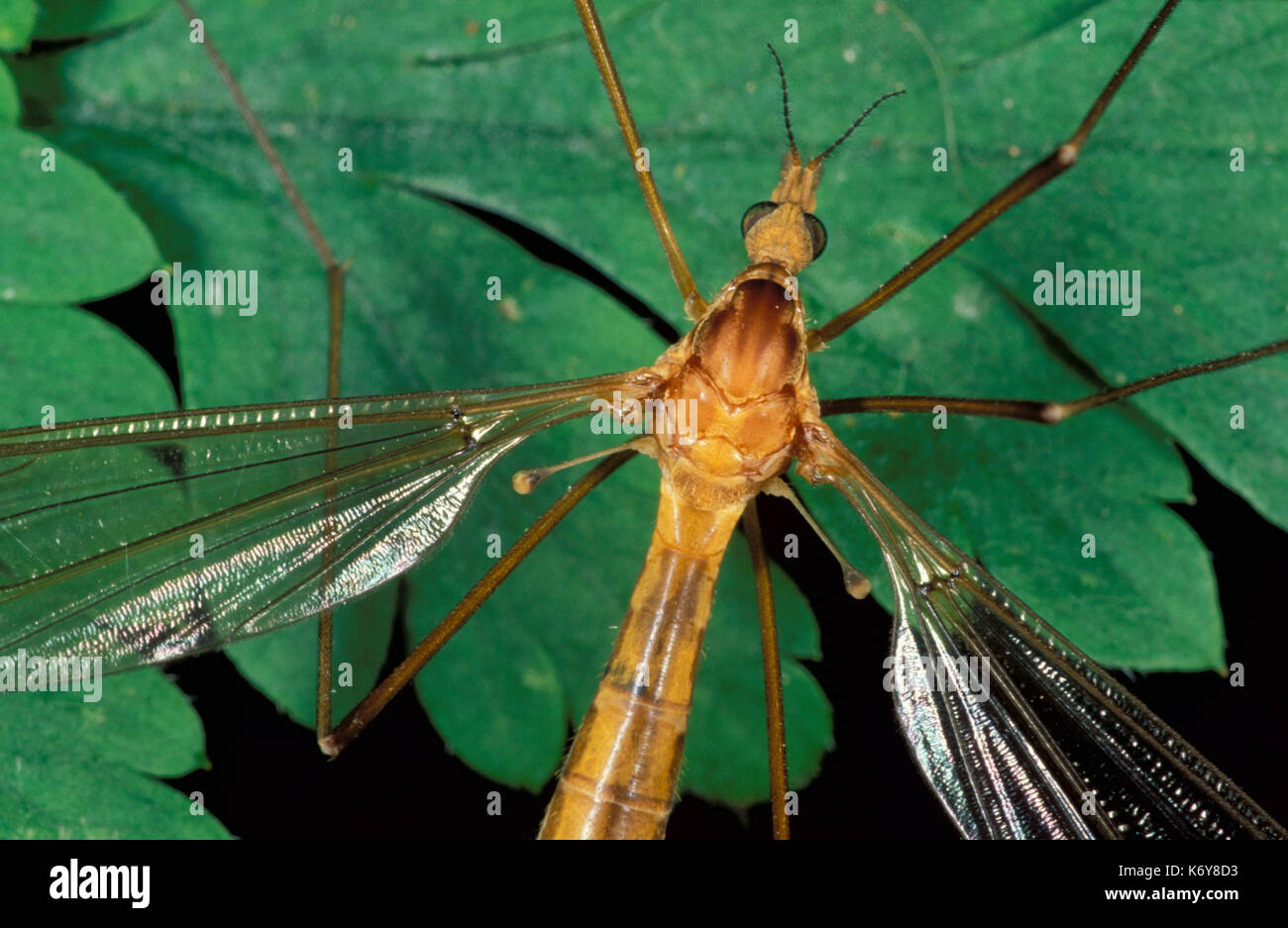 Cranefly, , Daddy Long Legs, Tipula paludosa, UK, close up showing second pair of wings modified drumstick-like appendages known as 'halteres' - Stock Image