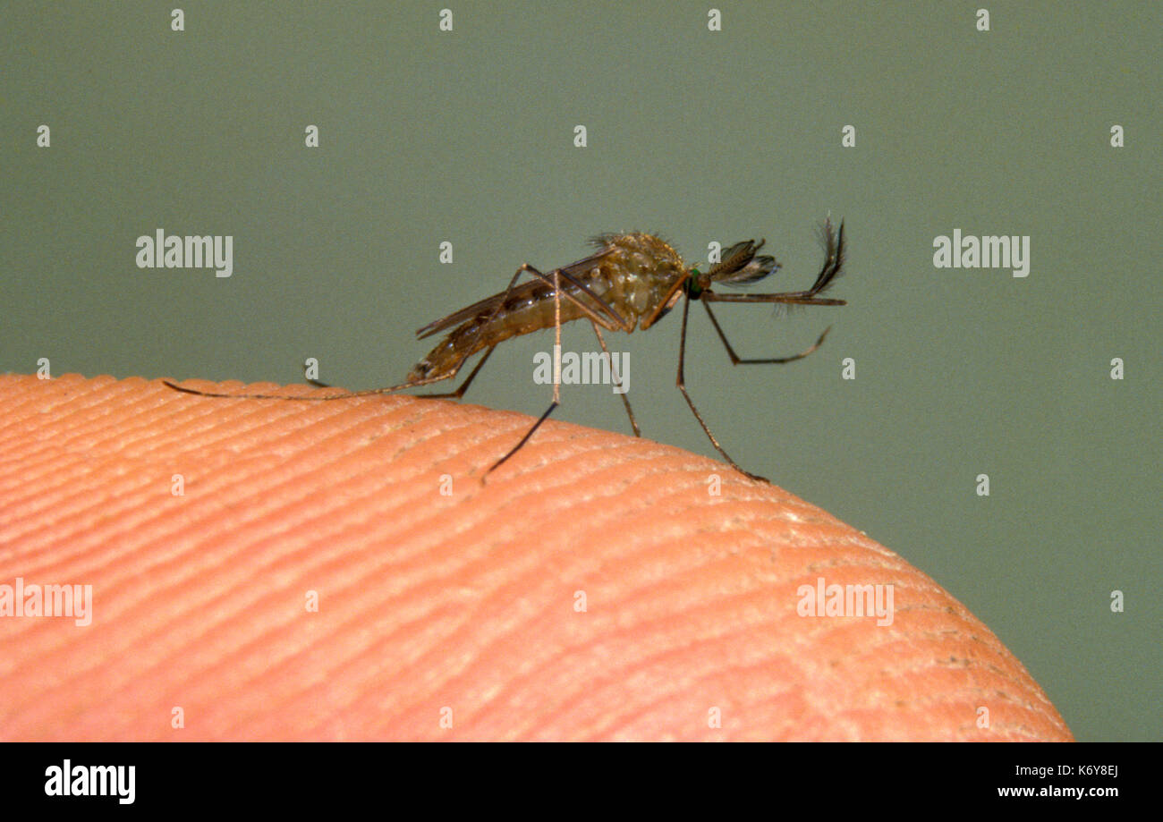 Mosquito, Culex pipiens, UK, adult on human finger - Stock Image